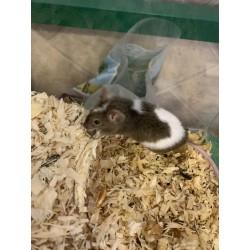 Myš barevná 2
