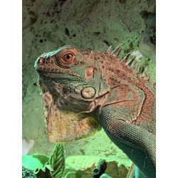 Leguán modrý - Iguana iguana blue