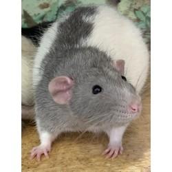 Potkan šedý