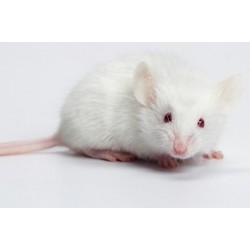 Myš bílá